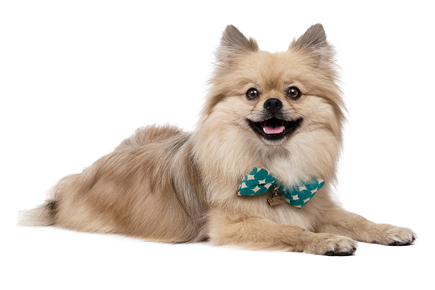 Young Pomeranian Studio shot