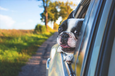 French bulldog looks out of car window