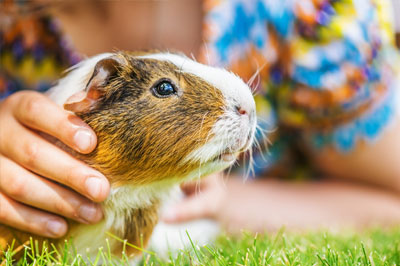 Guinea pig in a grass field