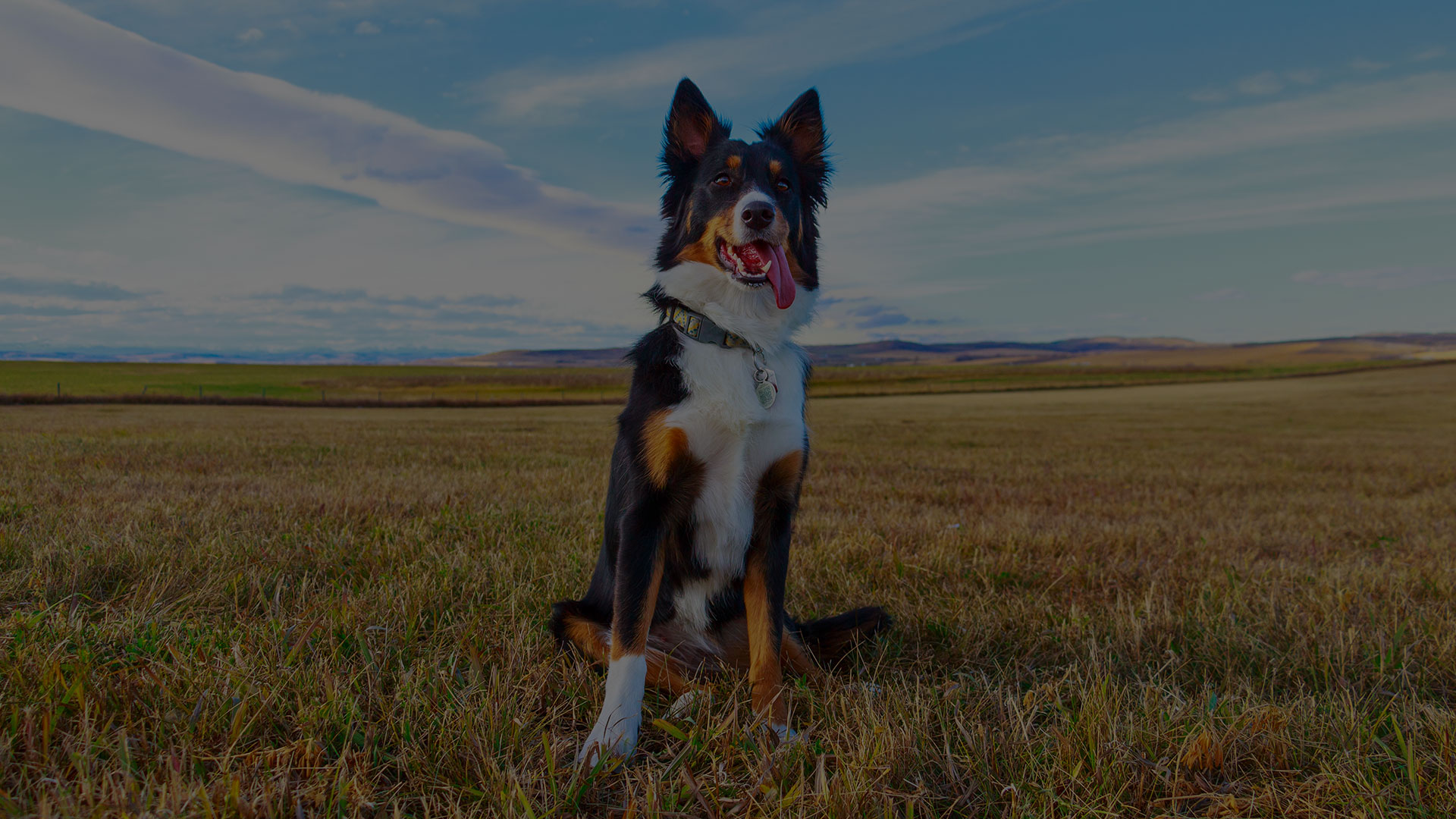 Border Collies sitting in the field