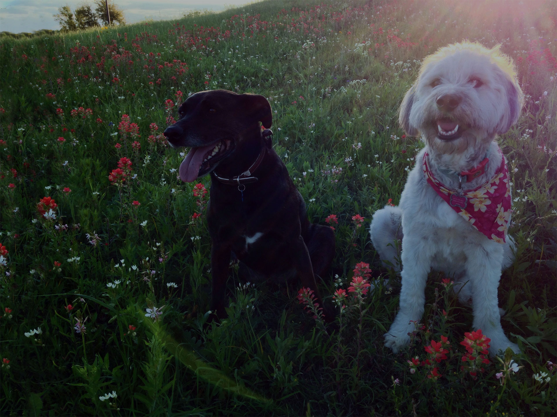 two dogs sitting in the field full of flowers