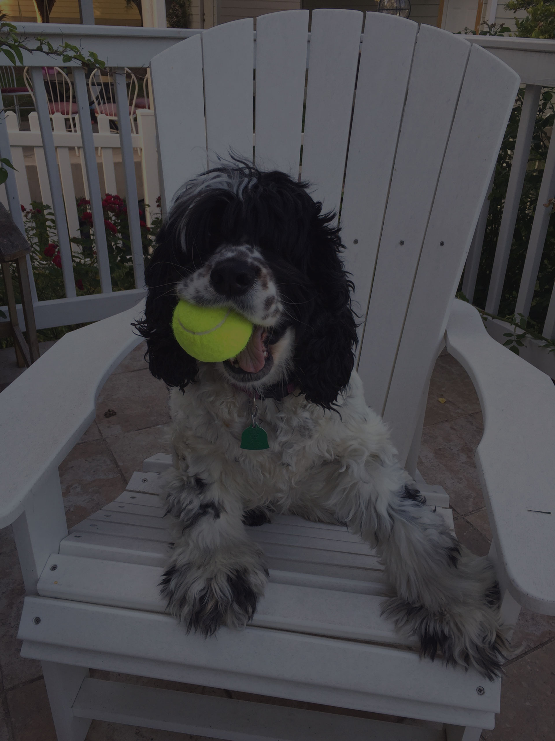 cute dog holding a ball in the mouth sitting on the wooden chair
